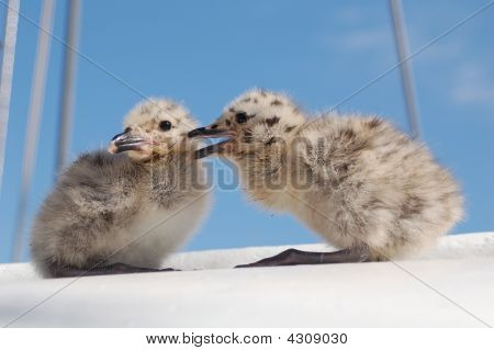 Seagull Chicks Chatting