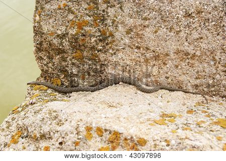 Snake On The Stone