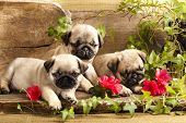 stock photo of gift wrapped  - pug puppies and flowers in retro backgraun - JPG