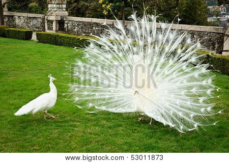 White Peacocks