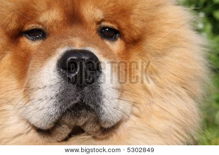 Fluffy Pet Chow Dog