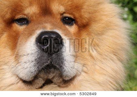 Fluffy Pet Chow Dog