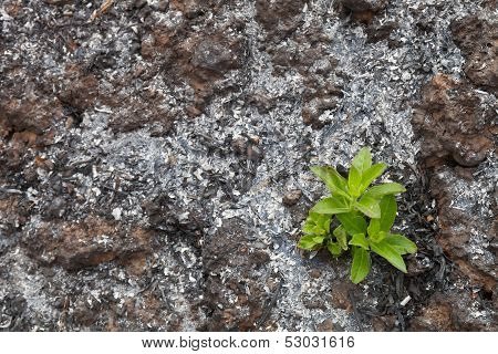 Green sprout on the scorched land