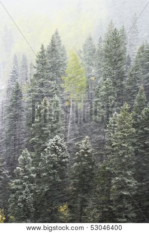 Pine Forest In Snowstorm, Mount Sneffels Range, Colorado