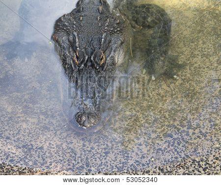 Alligator Portrait