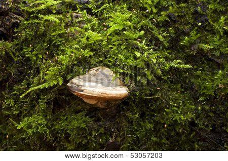 Mushroom tinder fungus