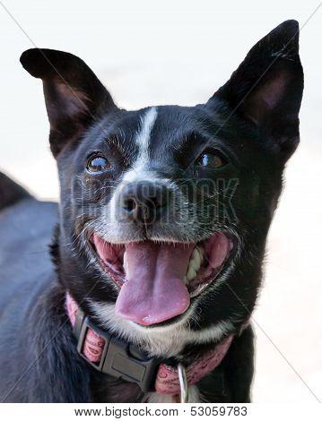Fox Terrier Cross