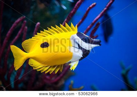 Onespot Foxface Rabbitfish Closeup In An Saltwater Aquarium