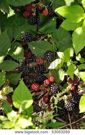 Branch Of Blackberry