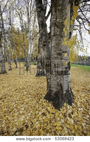 Tree Trunks And Leaves.