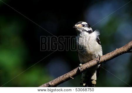 Downy Woodpecker Perched On A Branch