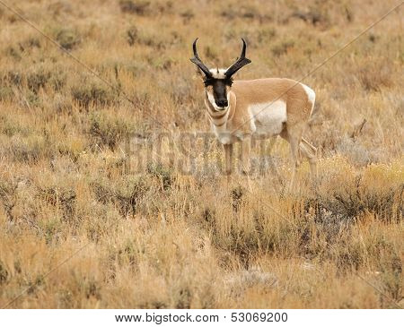 Pronghorn in Sagebrush