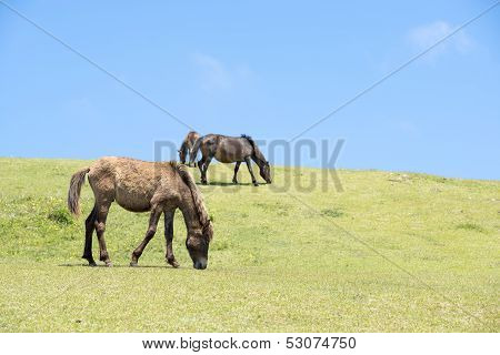 Grazing young horse