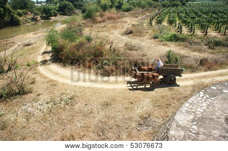 Transportation By Ox-cart