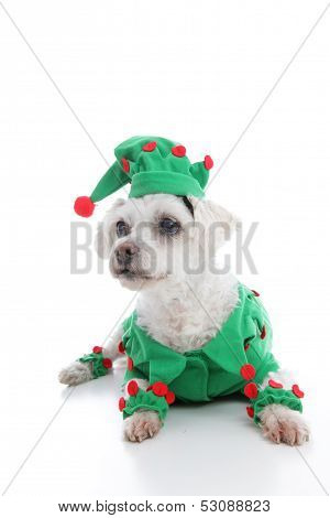 Pet Jester Or Christmas Elf