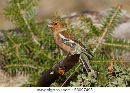 Male Chaffinch On The Branch