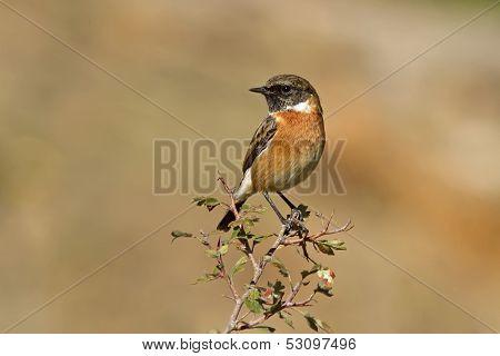 Male Common Stonechat
