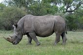 foto of rhino  - White rhino grazing on green grass field - JPG