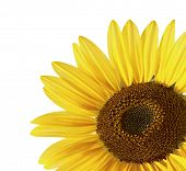 stock photo of sunflower  - Sunflower over white - JPG