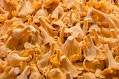 picture of chanterelle mushroom  - Pile of golden chanterelle mushrooms  - JPG