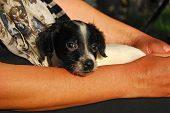picture of english setter  - Newborn English setter puppy cradling in female hands - JPG