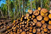 foto of afforestation  - Logging in the Forest Portugal in the spring