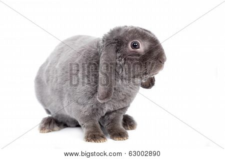 Grey lop-eared rabbit rex breed on white