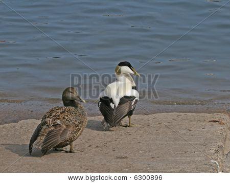 Common Eider Duck Pair