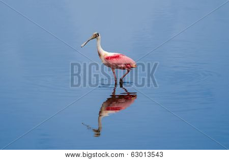 Spoonbill On A Stroll
