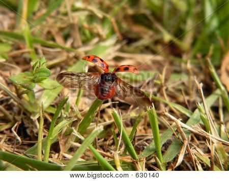 Ladybug Taking Flight