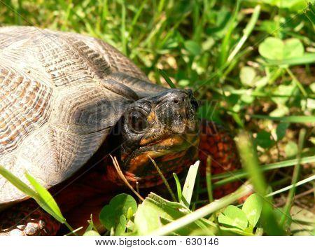 Wood Turtle Close