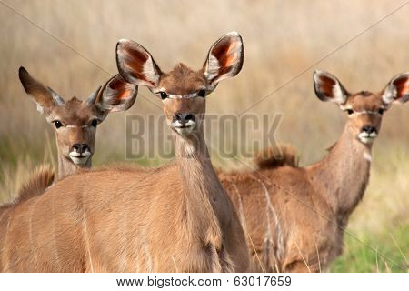 Portrait of three Kudu antelopes (Tragelaphus strepsiceros), South Africa