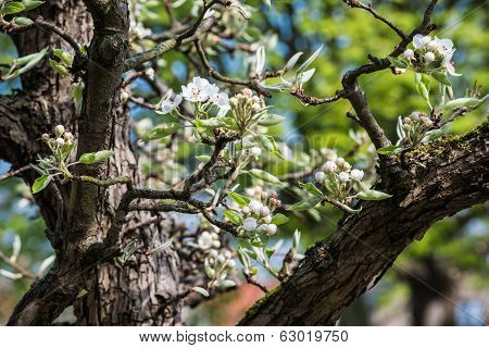 Flowering And Budding Branch Of An Apple Tree