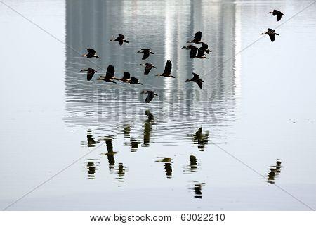 Anatidae In Flying Over On Marsh.