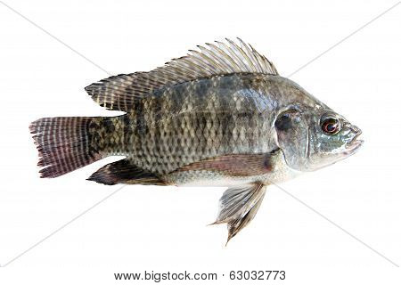 Fresh Tilapia Isolated.