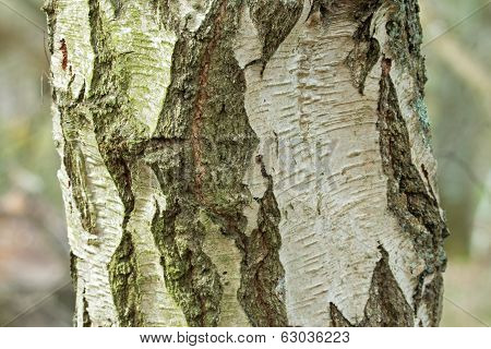 Silver Birch Tree Trunk