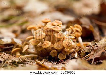 Ringless Honey Fungus