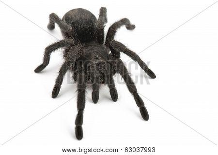 Black Spider- Grammostola Pulchra