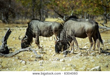 Wildebeests, Etosha National Park, Namibia