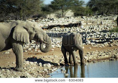 African elephants, Etosha National Park, Namibia