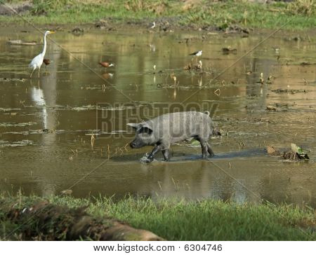 Pig In A Pond