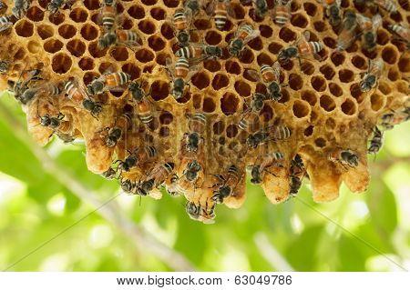 Closeup Swarm Of Honeycomb On Tree.