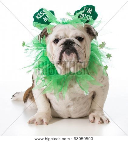 St. Patricks Day dog - english bulldog wearing kiss me I'm Irish headband isolated on white background