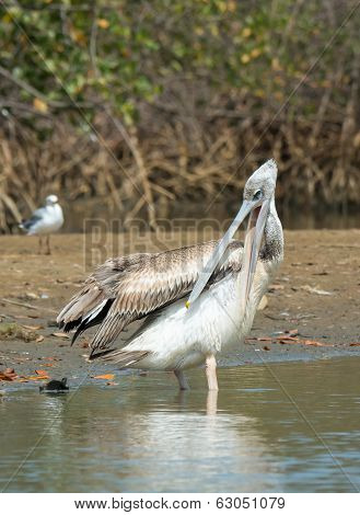 Pink-backed Pelican Standing On The Shore Preening