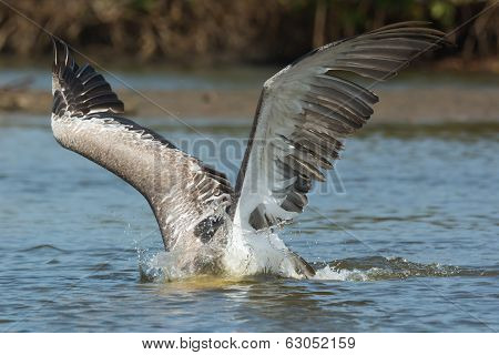 Pink-backed Pelican With Head Submerged And Wings Spread