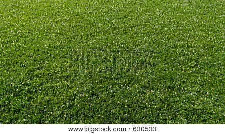 Grass & Clover