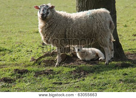 Mother and Baby Lamb.