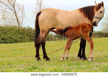 Foal Is Suckling The Milk From It's Mother On The Grass