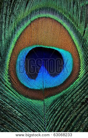 Closeup Of A Beautiful Peacock Feather
