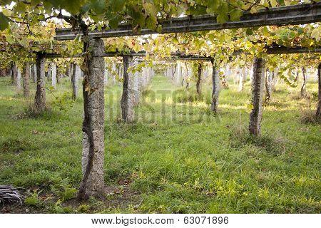 vine vineyards in typical Galician rias bajas